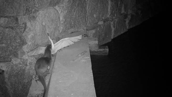 水獺經由友善階梯行走於水域間,夜間獵食小白鷺的實況。(金門縣府提供)