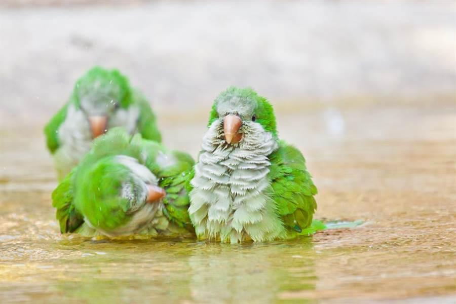 洗手台變身豪華鳥窩 綠和尚施工7天全紀錄(示意圖/達志影像)