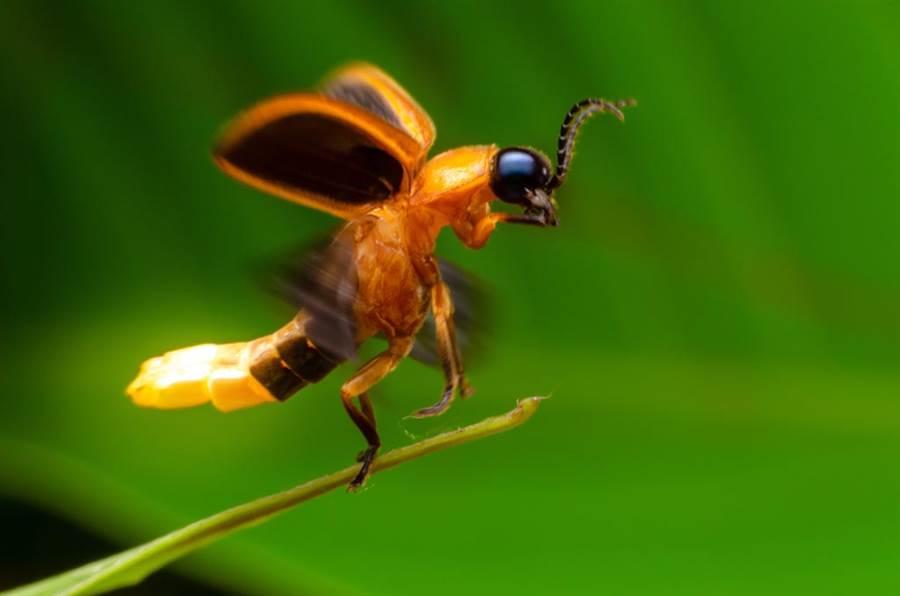 不少網友認為螢火蟲根本就是屁股發光的蟑螂。(示意圖/達志影像)