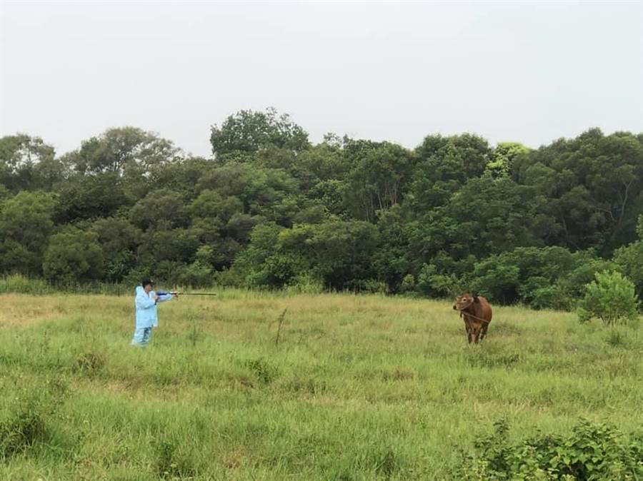 嘉義縣家畜疾病防治所派出4名獸醫及1位退休的牛專家至金門支援為牛隻施打牛疹疫苗。(家畜所提供/張亦惠嘉縣傳真)