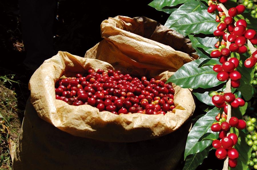 中美洲精品咖啡深獲國內消費者喜愛。圖/中美洲經貿辦事處提供