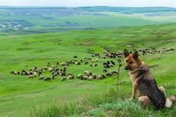 美首隻確診新冠肺炎牧羊犬「巴迪」走了 生前4個症狀讓人淚崩