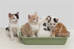 小奶貓急上廁所!貓砂盆卻被霸占 求助表情好哀怨