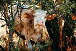 神秘樹洞狂吸牛頭 擁驚人魔力「救完1隻再來1隻」