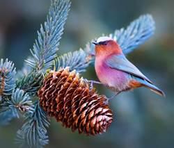 仙界下凡的鳥!軟萌圓胖的夢幻外型 漸層毛色美到不真實