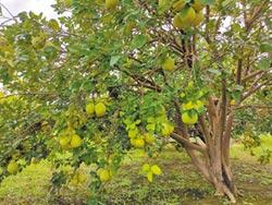 文旦加工收購價 麻豆農促快定案