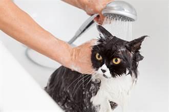 幫4貓洗澡場面超混亂 主人崩潰哭喊:我要瘋了!
