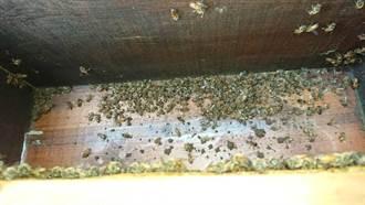桃園平鎮養蜂場200萬隻蜜蜂遭毒害 農業局:與登革熱防治無關
