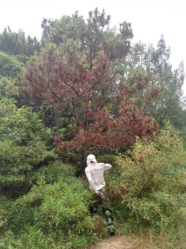 松樹萎凋病的病木,呈現鮮豔的紅褐色。(金門縣林務所提供)