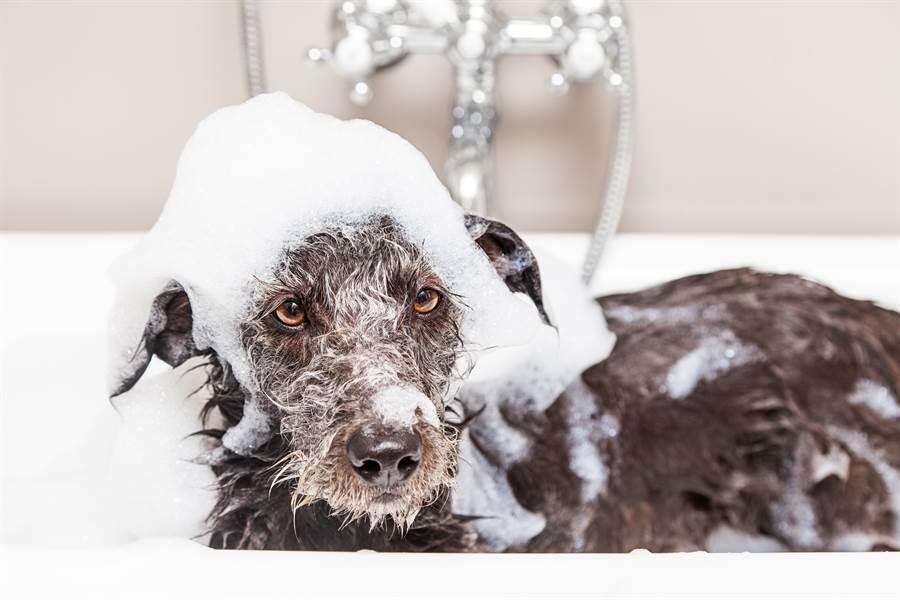有些寵物不喜歡碰水,導致主人幫忙洗澡時,總是很傷腦筋(示意圖/達志影像)