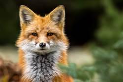 跟蹤小狐狸回巢穴 意外揭開牠驚人癖好
