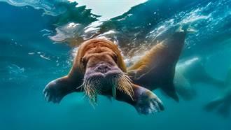 女童逛水族館 巨大海象隔玻璃送吻眾人驚呼