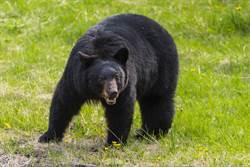 黑熊開門搗亂 他急用「爸爸口吻」怒斥竟成功罵退