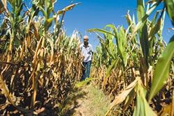 陸北旱南澇 玉米絕收 價暴漲