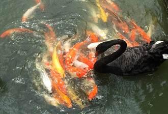 慈母黑天鵝咬乾糧餵鯉魚 網見神奇舉動超震驚