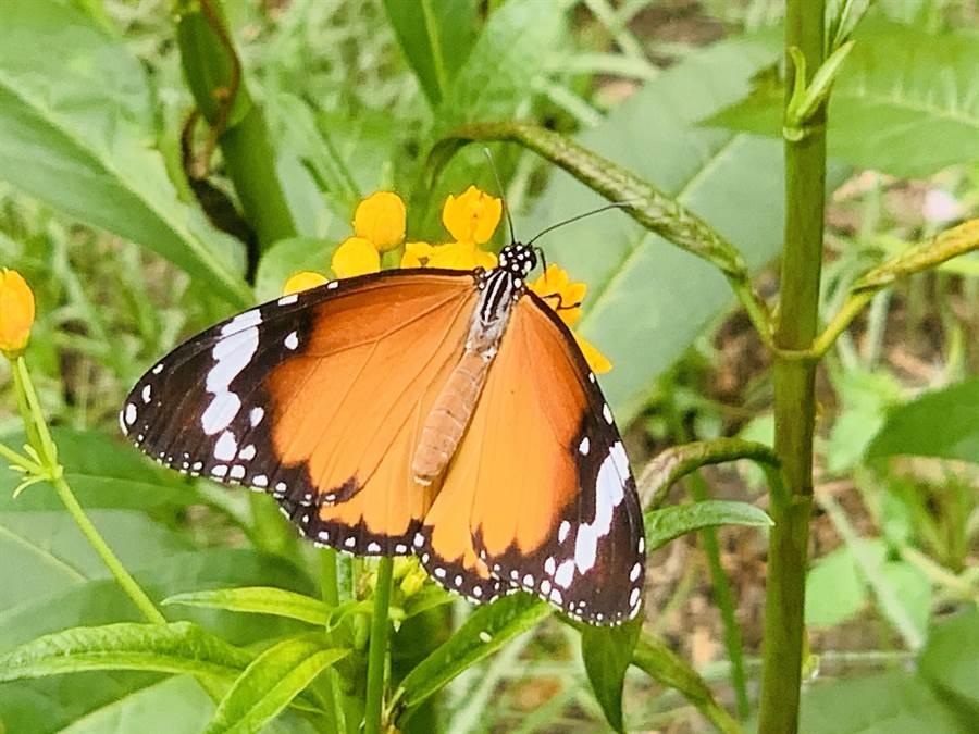 台一生態農場「蝴蝶迷宮」,蝶舞翩翩。(廖志晃攝)