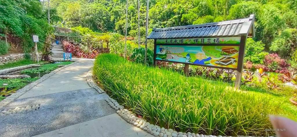 新北泰山「天泉水堀」去年開泉,畔月農場收穫首批天泉米。(泰山區公所提供/許家寧新北傳真)