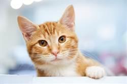 好想要一個家 收容所橘貓見人就奮力揮手