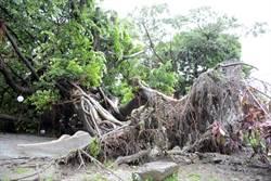 不敵風雨 孫立人行館老樹應聲倒