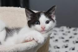 收養路邊「愛心圖案」小奶貓 4個月後一看害羞了