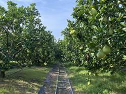 南市文旦大賽 60名果農入圍一較高下