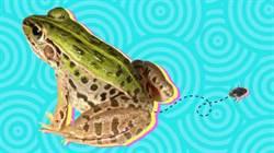 吃下去又拉出來 水甲蟲從青蛙後門逃出