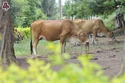 大功告成!今完成金門全縣健康牛隻牛結節疹疫苗注射