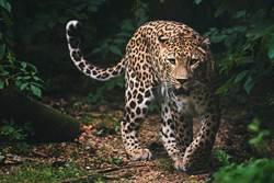 遇灰底黑斑花豹漫步40分鐘 罕見身影讓人超難忘