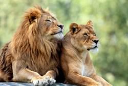 獅子夫妻恩愛相伴六年 決定「生死相隨」同時安樂死