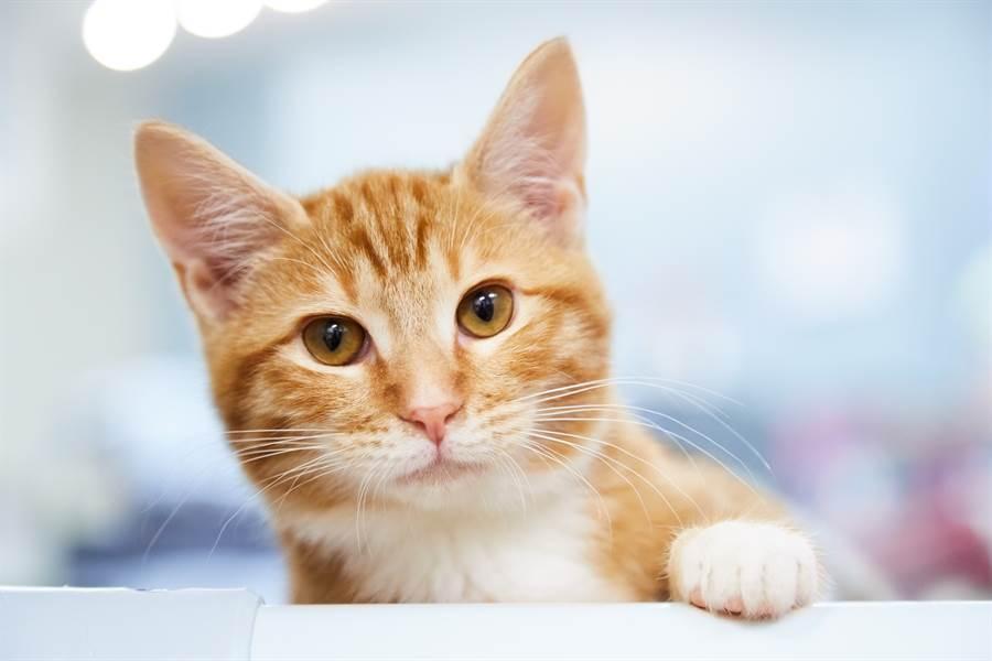 好想要一個家 收容所橘貓見人就奮力揮手(示意圖/達志影像)