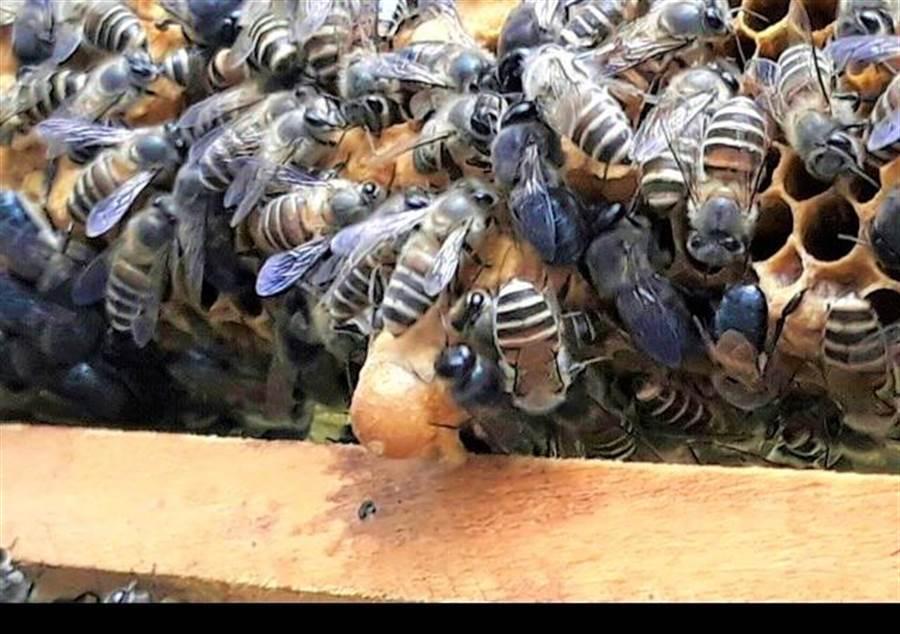 飼養中的台灣野蜂。(新竹林管處提供/巫靜婷苗栗傳真)