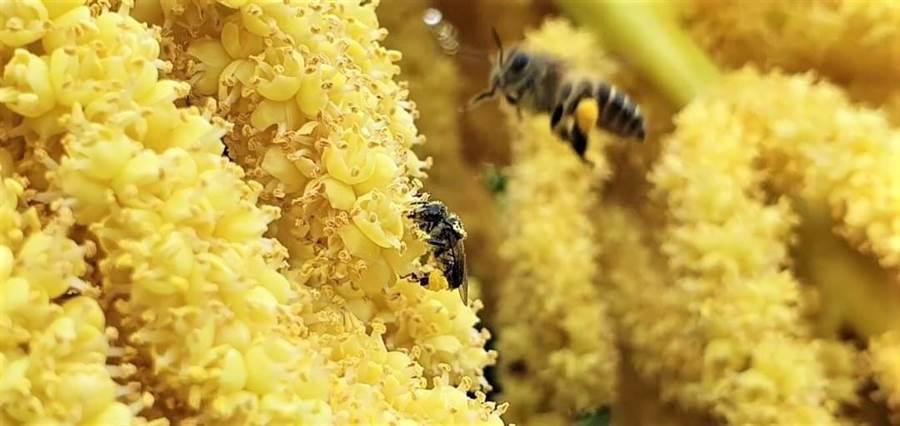 台灣野蜂深受囊狀病毒威脅,花與水是傳染的媒介。(新竹林管處提供/巫靜婷苗栗傳真)