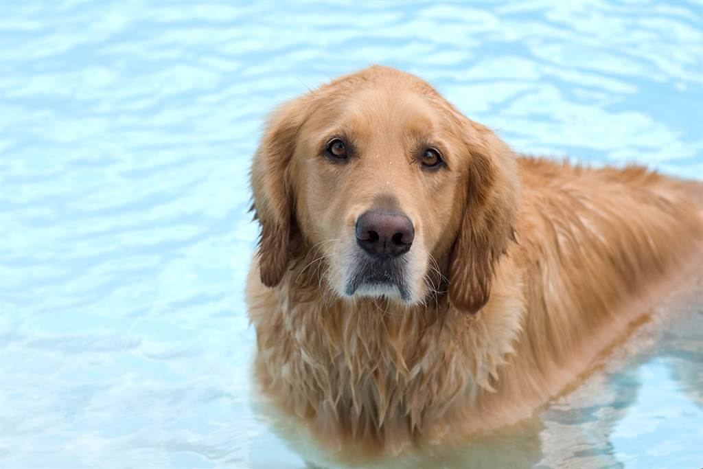黃金獵犬把狂扭水管當蛇玩 超威一咬跌出泳池冏爆(示意圖/達志影像)