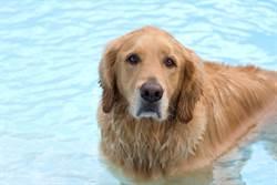 黃金獵犬把狂扭水管當蛇玩 超威一咬跌出泳池冏爆