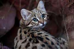 世上最致命貓!黑足貓探頭初嚐肉 一夜能捕食14隻鳥