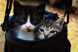 泰國出現罕見雙面貓 「完美對稱」神基因網驚呆