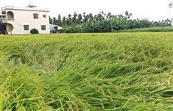 水稻保險開賣 屏東縣稻農僅需負擔40%保費