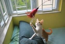 主人拿逗貓棒超快手速玩貓 喵星人抓不住當機狂跳針