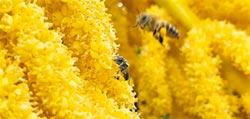 滅絕危機 囊狀病毒威脅台灣野蜂