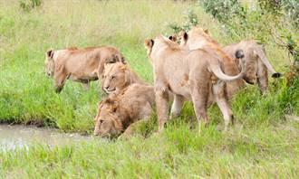 沙丘接連冒猛獅攝影師嚇傻 20隻大貓超整齊排成列喝水