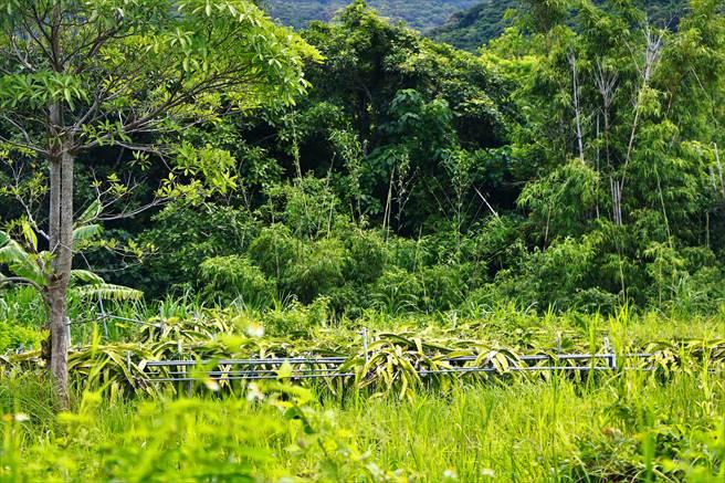 滿州農會總幹事陳清木指出,「猴害農損」未因政府補助電網設施而降低,不少農友有感獼猴防不勝防乾脆棄耕,近年黑豆、火龍果產量少3成。(謝佳潾攝)