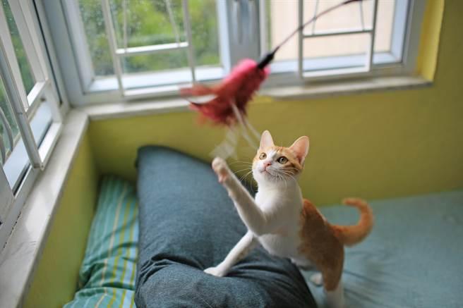 主人拿逗貓棒超快手速玩貓 喵星人抓不住當機狂跳針(示意圖/達志影像)