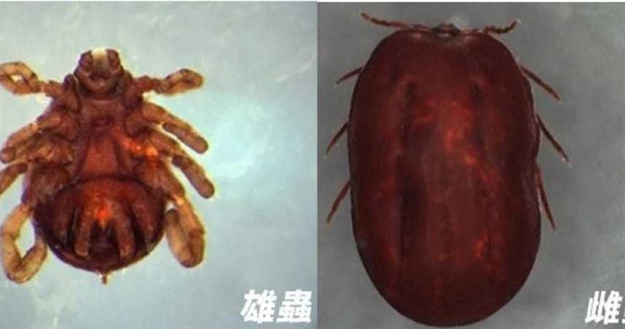 「新型布尼亞病毒」又稱「發熱伴血小板減少綜合徵病毒」。(圖/疾管署網站)