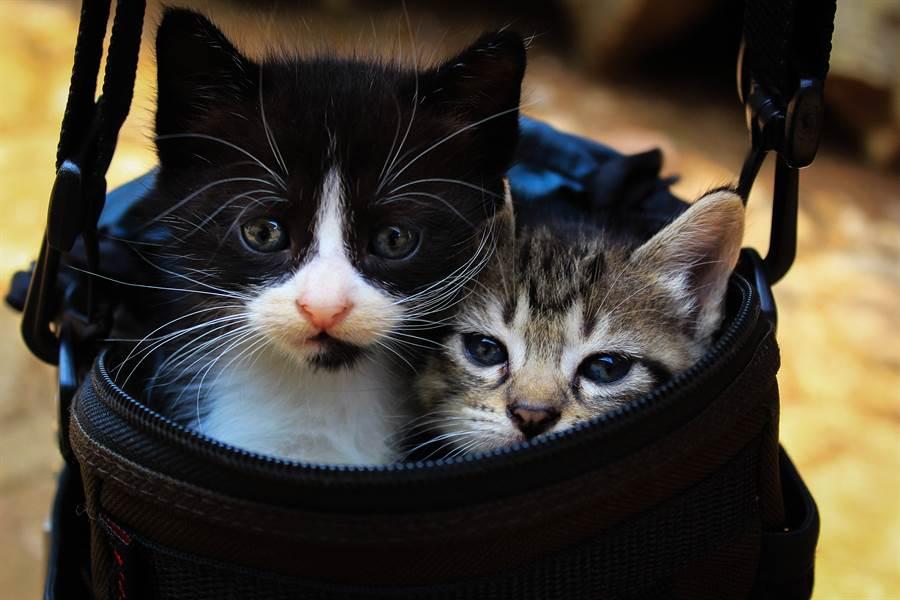 泰國出現罕見雙面貓 「完美對稱」神基因網驚呆(示意圖/達志影像)