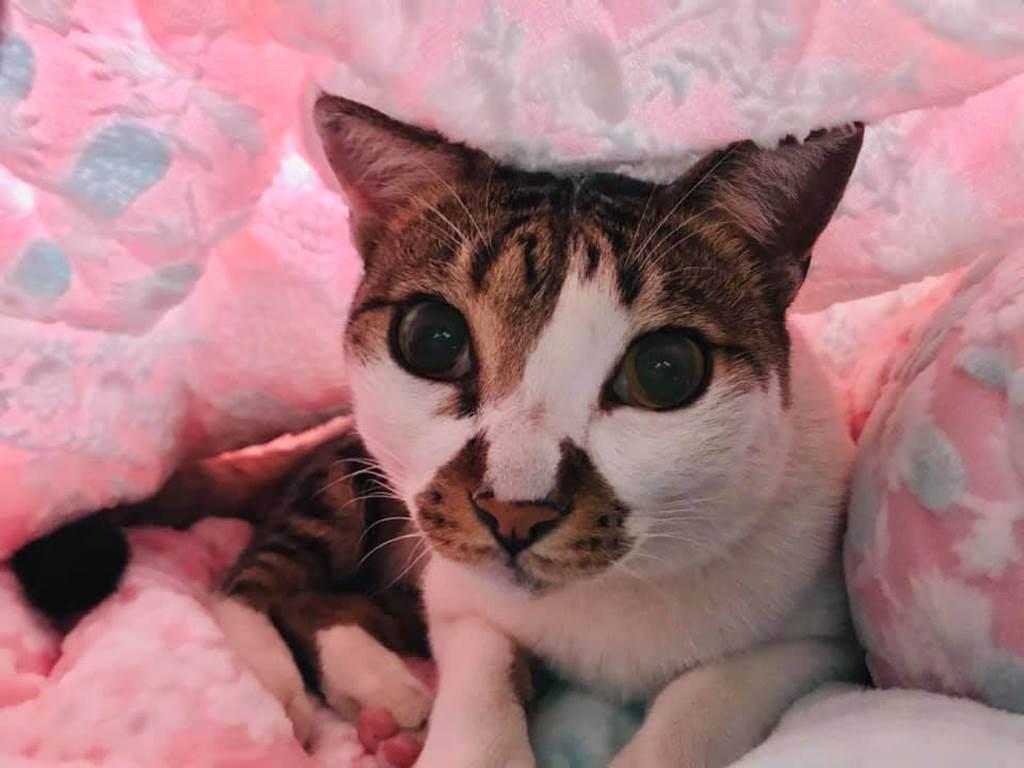 剖腹產赫見過世愛貓出現產房 她:來投胎?(示意圖/李珮雲攝)
