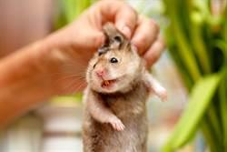 特務黃金鼠「劈腿撐牆」自信爆棚 網笑:湯姆克魯鼠