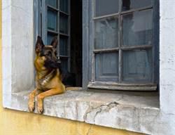 德牧被棄荒廢大樓1年 醫護隔窗投餵竟成「公務員」