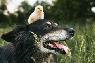 殘障流浪狗拖後腿走路沒人幫 母雞心疼貼身照顧
