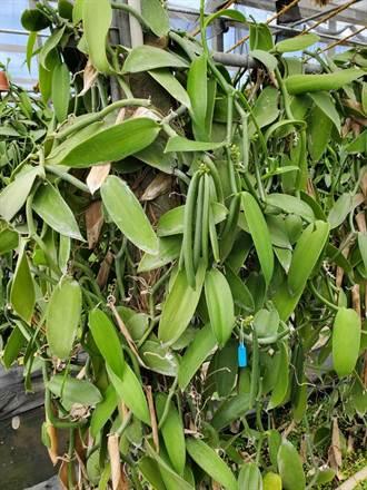 桃園農改場研發香草莢加工新技術 香氣更濃品質更高