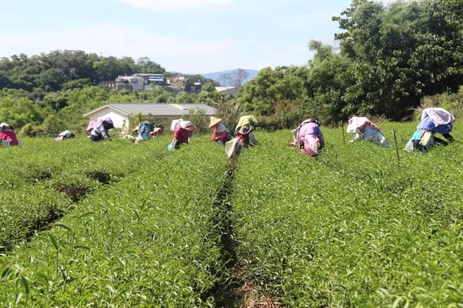 苗栗市八甲茶園土壤肥沃、氣候溫暖濕度高,孕育高品質「貓裏紅茶」,苗栗市農會打響貓裏紅知名度,並傳承傳統製茶手藝。(何冠嫻攝)
